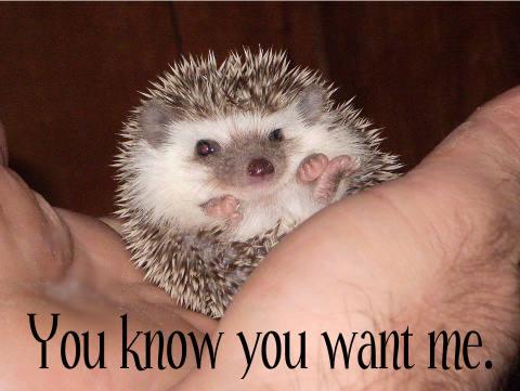 Hedgehog Pet Price >> Hedgiemama Com Home